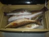 box-of-redfish
